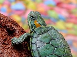 Una tortuga que viaja con chófer – Mi vida en cámara oculta